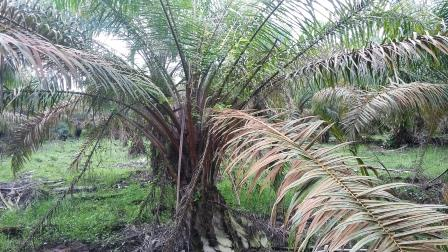 penyakit tanaman sawit