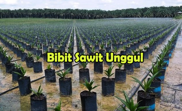 bibit sawit unggul